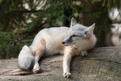 The corsac fox Vulpes corsac royalty free stock photos
