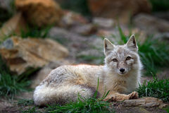 Corsac Fox, Vulpes corsac, in the nature stone mountain habitat, found in steppes, semi-deserts and deserts in Central Asia, rangi Stock Photography