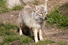 Corsac fox, Vulpes corsac is shrewd fox Stock Photography