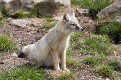 Corsac fox, Vulpes corsac is shrewd fox. One Corsac fox, Vulpes corsac is shrewd fox Royalty Free Stock Image