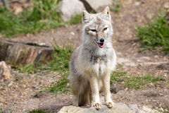 Corsac fox, Vulpes corsac is shrewd fox Stock Images