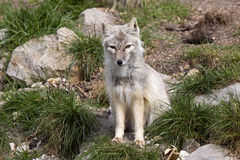 Corsac fox, Vulpes corsac is shrewd fox Royalty Free Stock Images