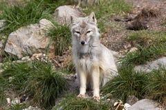 Corsac fox, Vulpes corsac is shrewd fox Royalty Free Stock Images