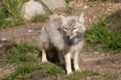 Corsac fox, Vulpes corsac is shrewd fox Royalty Free Stock Image