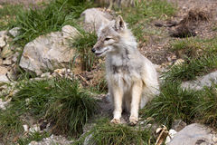 Corsac fox, Vulpes corsac is shrewd fox Royalty Free Stock Photos