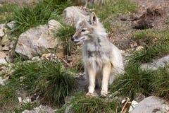 Corsac fox, Vulpes corsac is shrewd fox Royalty Free Stock Photos