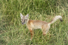 Corsac fox, vulpes corsac. Standing in the grass Stock Photo