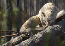 Corsac  fox Vulpes corsac lying down on a tree trunk. Also known as corsac or steppe fox royalty free stock photos