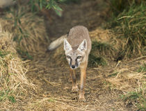 Corsac fox. A corsac fox walking out of woods Stock Images
