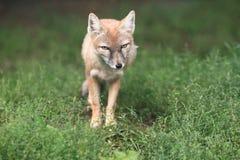 Corsac-Fuchs Lizenzfreie Stockfotos