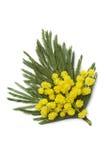 Corsage delle mimose Immagini Stock