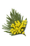 Corsage of mimosa Stock Images