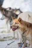 Corse dei cani della slitta Fotografie Stock Libere da Diritti