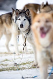 Corse dei cani della slitta Fotografie Stock