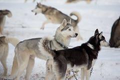 Corse dei cani della slitta Fotografia Stock Libera da Diritti
