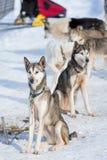 Corse dei cani della slitta Immagini Stock Libere da Diritti