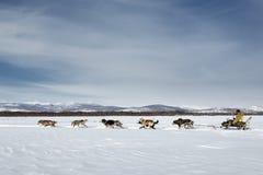 Corse dei cani tradizionali Beringia della slitta di Kamchatka Fotografia Stock