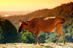 Corsica cow Royalty Free Stock Photography