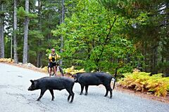 Free Corsica-cyclist On The Way And Wild Boar Stock Photos - 182267863