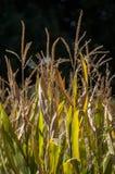 Corsica, pszeniczny pole, Południowy Corsica, wieś, Francja, Europa, lato, podróż Zdjęcia Stock