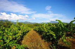 Corsica's vineyards Stock Images