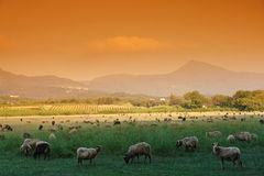Corsica sheep. In eastern coast Royalty Free Stock Images