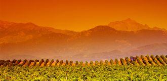 Corsica vine. Landscape from corsica vine in aleria country Royalty Free Stock Photo
