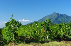Corsica vineyard Royalty Free Stock Photo