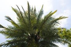 corsica wyspy śródziemnomorska palmowa fotografia brać drzewo zdjęcia royalty free