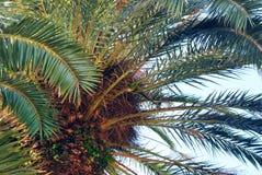 corsica wyspy śródziemnomorska palmowa fotografia brać drzewo Zdjęcie Royalty Free