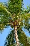 corsica wyspy śródziemnomorska palmowa fotografia brać drzewo Zdjęcie Stock