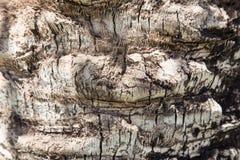 corsica wyspy śródziemnomorska palmowa fotografia brać drzewo tło tekstury szczekać drzewo Fotografia Stock