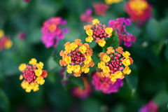 corsican blomma för closeup Royaltyfria Bilder