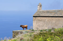 Corsican bull Stock Photography