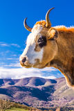 Corsican Cow at Col de San Colombano Stock Photo