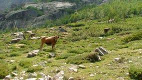 Corsican cow in the mountain Stock Photos