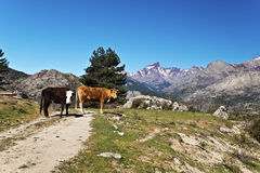 Corsican Cows in Golo Valley Royalty Free Stock Photo