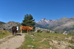 Corsican cows in the mountain pass Royalty Free Stock Photo