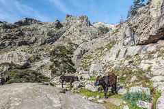 Corsican Cows in transhumance pathway in Golo valley stock images