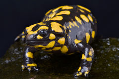 Corsican fire salamander,Salamandra corsica. The Corsican fire salamander,Salamandra corsica, is a large, colorful salamander species endemic to Central Corsica Royalty Free Stock Photo