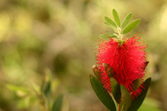 Corsican flower closeup Royalty Free Stock Photography