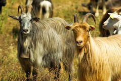 Corsican goats Stock Photo