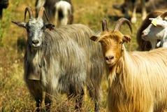 Corsican goats Stock Photo