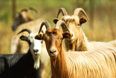 Corsican goats royalty free stock photos