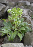 Corsican Hellebore Royalty Free Stock Images
