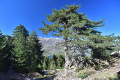 Corsican Laricio pine tree in the mountain slope forested Stock Image