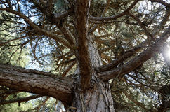 Corsican Laricio pine tree in the mountain slope forested Royalty Free Stock Photo