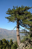 Corsican Laricio pine tree on the vertical cliff Royalty Free Stock Images