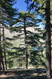 Corsican Laricio pine trees in the mountain slope forested Stock Photo