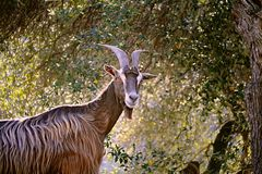 Corsican mountain goat Stock Photo